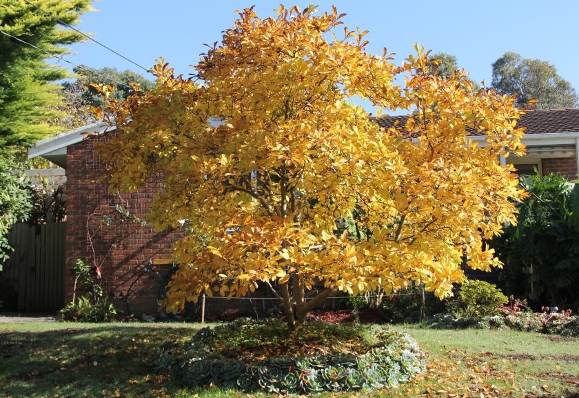 008 Magnolia in Autumn ed