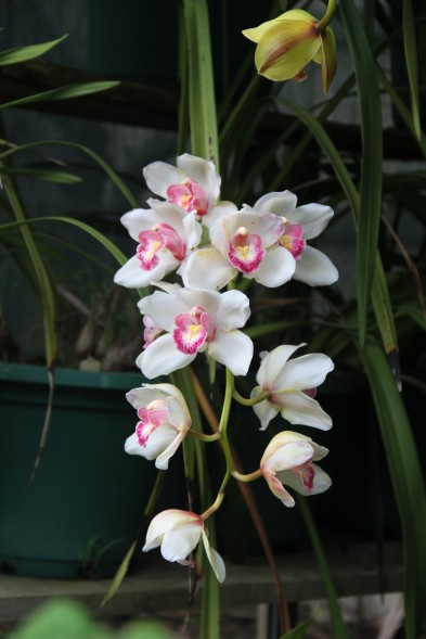 Download Canon 60D Orchids Oct2019 003