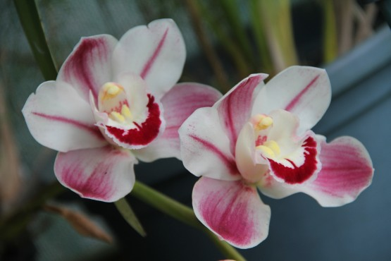 Download Canon 60D Orchids Oct2019 008