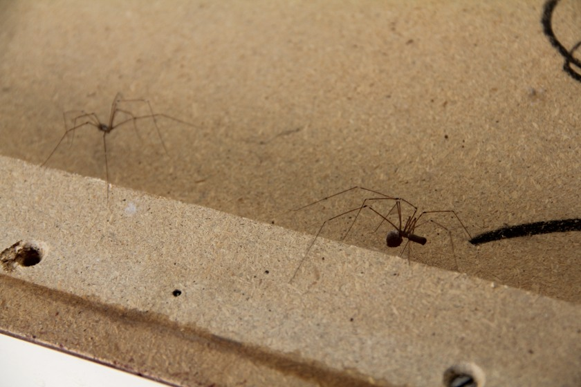 Download Canon60D Olive Daddy longlegs Nov2019 038