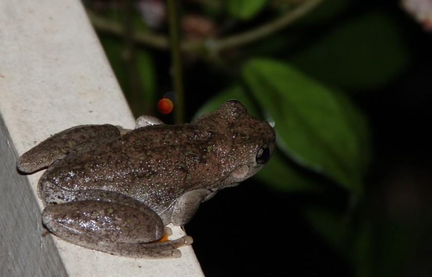 AAA Frog