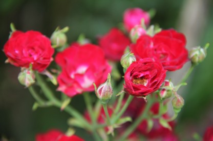 Download Canon60D Christmas Day flowers 006