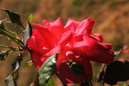 Download Canon60D Christmas Day flowers 015