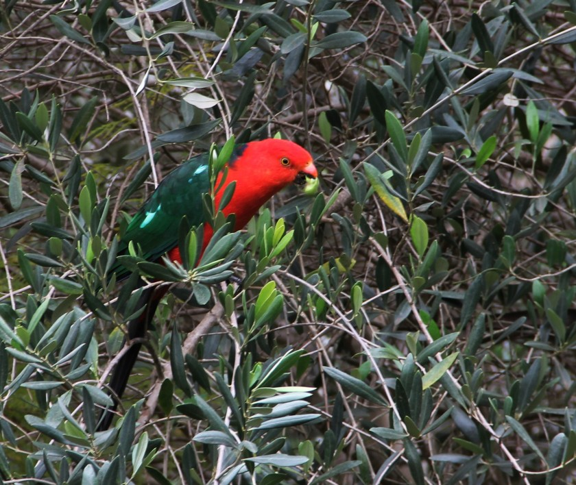 Download Canon60D 3 May 2020 Bonsai Autumn 008 ed King parrot olives