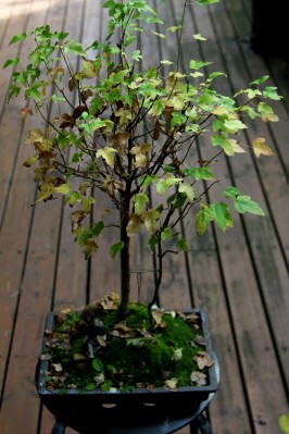 Download Canon60D 3 May 2020 Bonsai Autumn 069