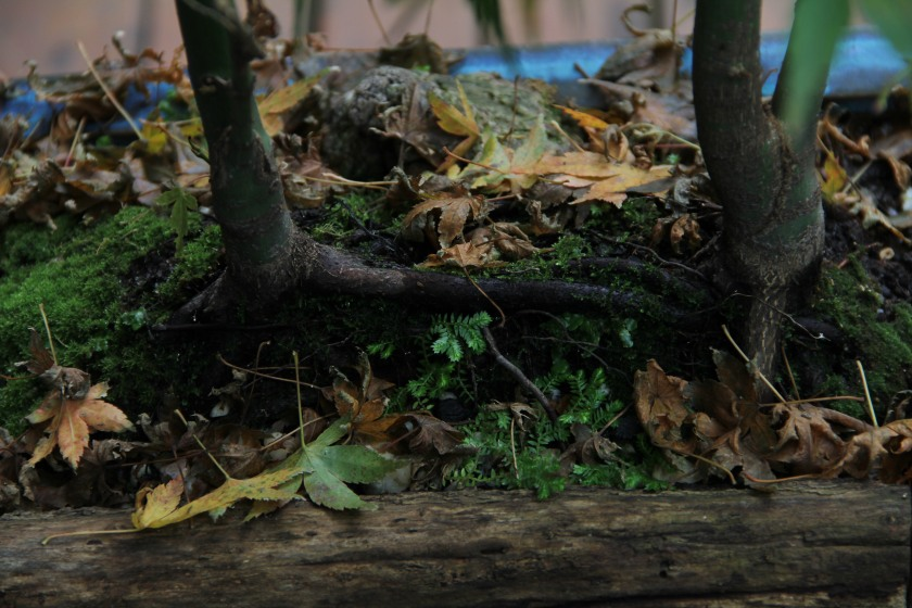 Download Canon60D 3 May 2020 Bonsai Autumn 081