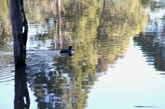 Download Canon 60D 3rd June 2020 Ducks Warrandyte 037