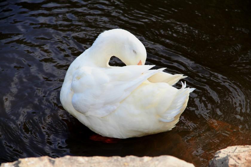Download Canon 60D 3rd June 2020 Ducks Warrandyte 085ed1