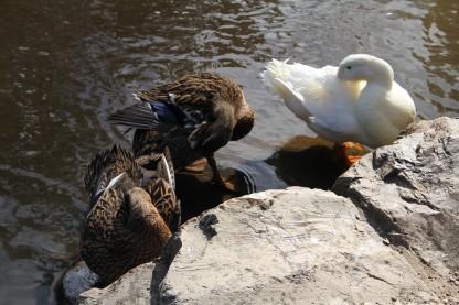 Download Canon 60D 3rd June 2020 Ducks Warrandyte 088