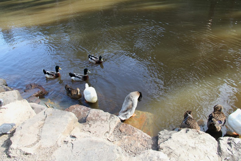 Download Canon 60D 3rd June 2020 Ducks Warrandyte 099